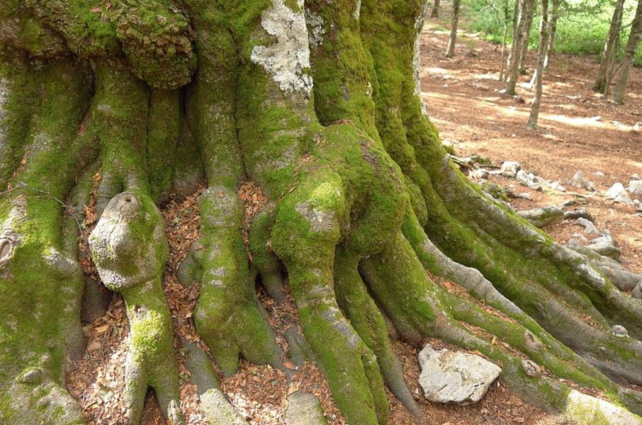 Incontro con i patriarchi arborei del Parco Nazionale del Pollino