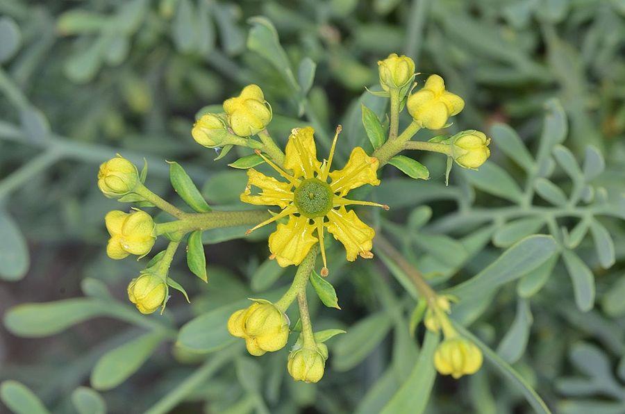 Cespuglio fiorito di Ruta graveolens - Ph. Amada44 | CCBY-SA3.0