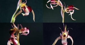 Orchidee: dai Tropici alla Calabria regine di biodiversità