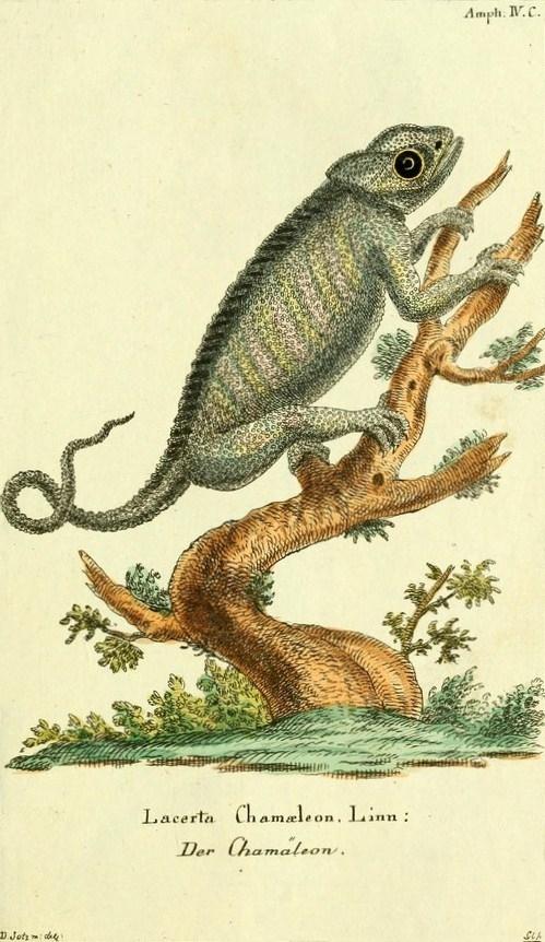 Camaleonte mediterraneo in una tavola illustrata di un atlante tedesco,1780-1789 - Ph. Biodiversity Heritage Library | CCBY2.0