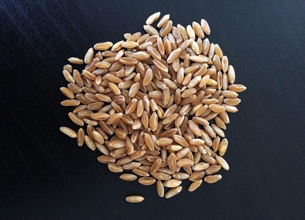 Chicchi di grano Russello, insieme al Timilia, il grano più antico della Sicilia - Ph. IppidumNissenae   CCBY-SA4.0