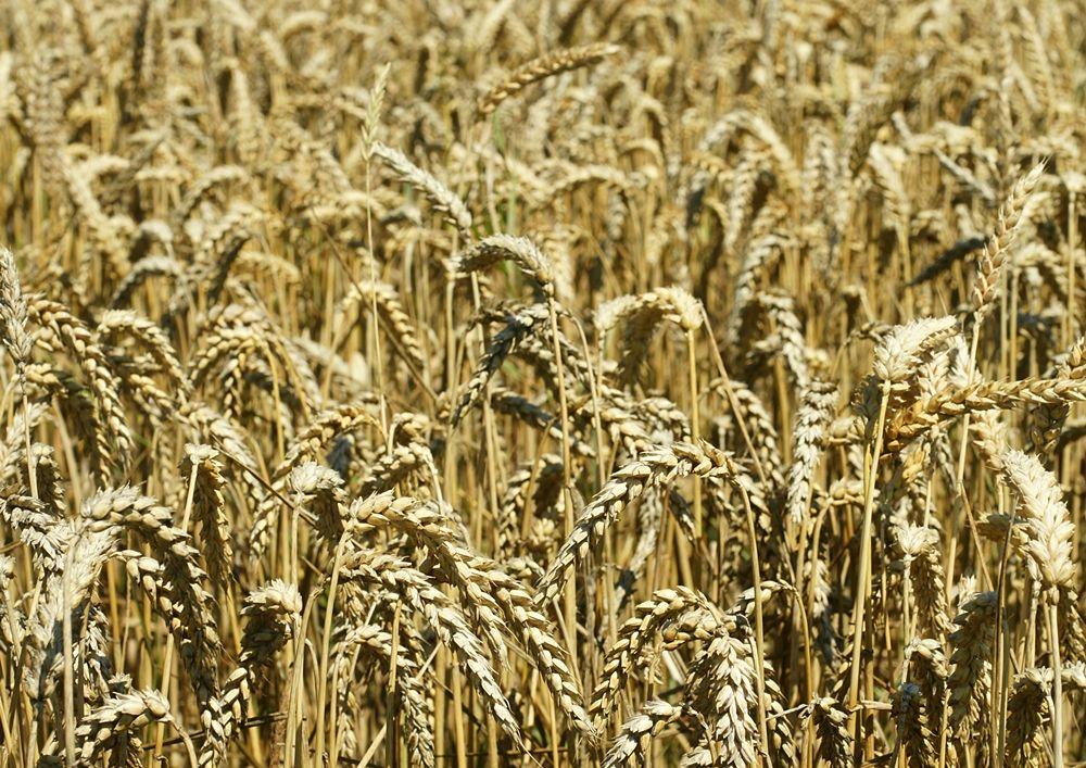 Campo di grano antico siciliano Maiorca - Ph. hans Hillewaert   CCBY-SA3.0