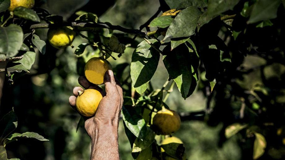 La raccolta del bergamotto - Ph. CristianDiorTV