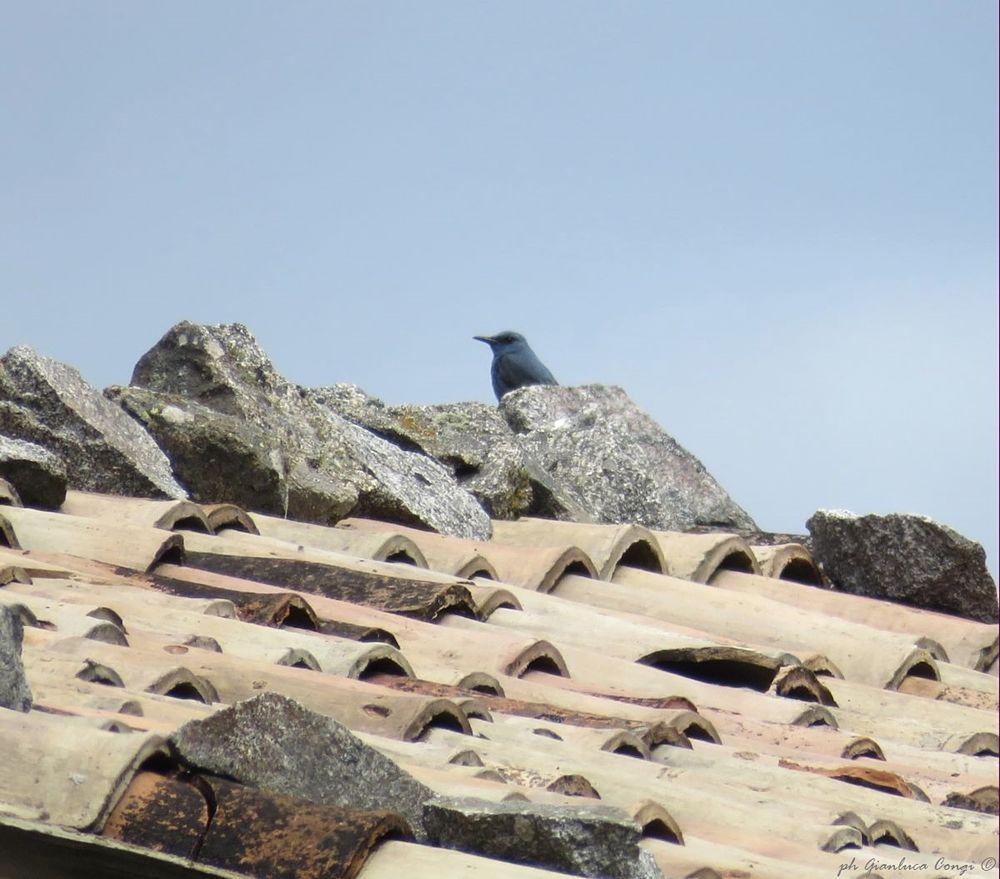 Passero solitario (Monticola solitarius) a Carello - Ph. © Gianluca Congi