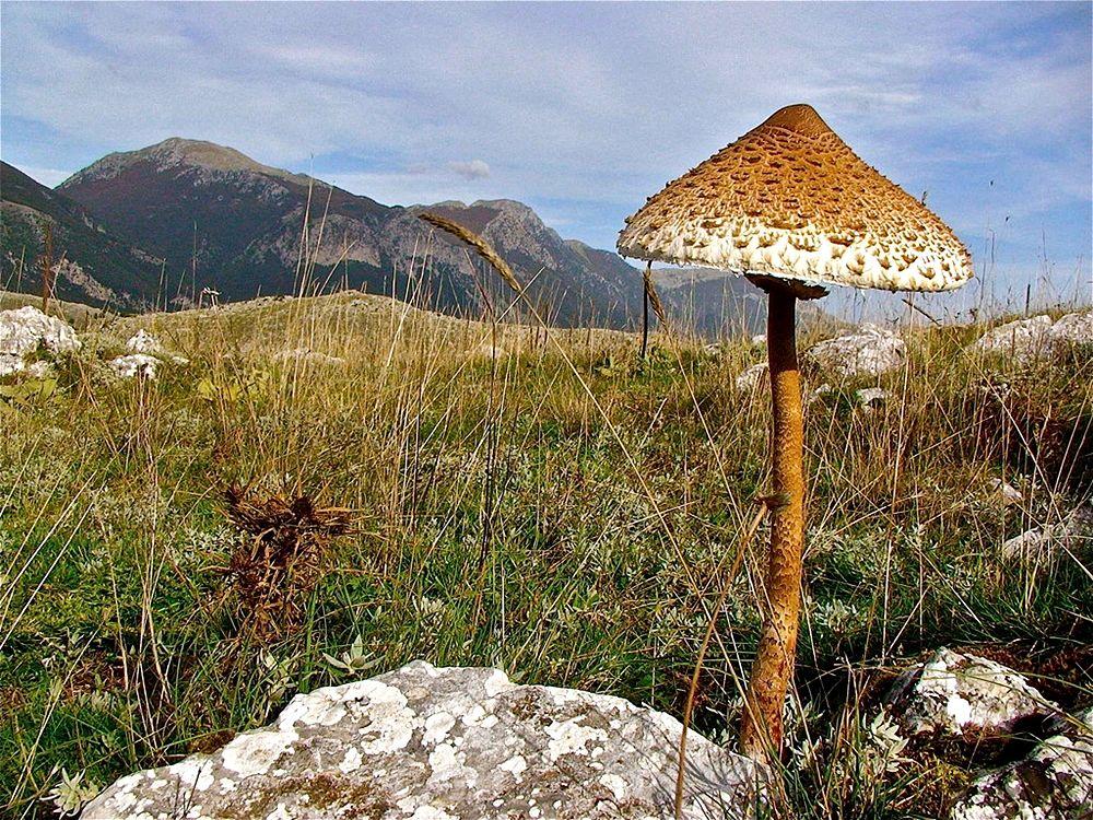 Calabria - Esemplare di fungo Mazza di tamburo (Macrolepiota procera) - Ph. © Stefano Contin | Photo gallery a fondo pagina