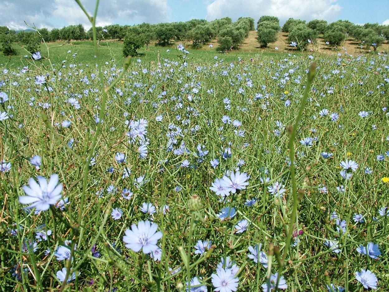 Campo di cicorie (Cychorium intybus) in fiore - Ph. © Domenico Puntillo