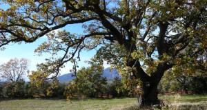 I monumentali patriarchi arborei del Parco Nazionale del Pollino
