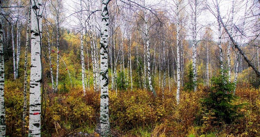 Bosco di betulle lungo il tracciato della Transiberiana, Russia  - Ph. Tatters