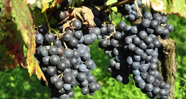 Pallagrello: alla Reggia di Caserta ritorna il vino dei Borboni