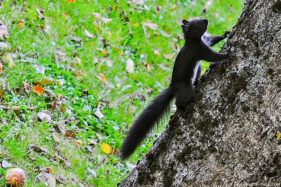 Esemplare di scoiattolo meridionale (Sciurus meridionalis), Parco Nazionale della Sila (Centro Visite Cupone), fotografato nel 2012 - Ph. © Ferruccio Cornicello