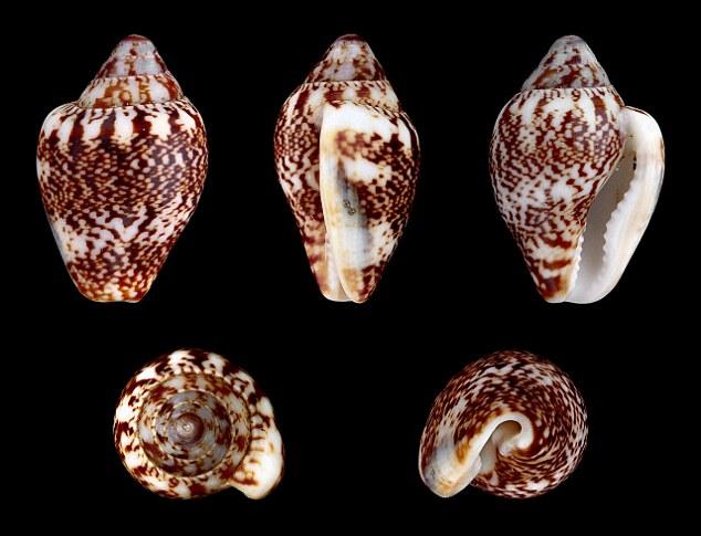 Esemplari di conchiglie di Columbella rustica, specie di mollusco presente nel Mediterraneo - Ph.H. Zell| ccby-sa3.0