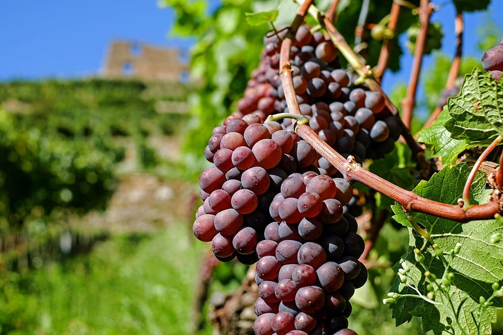 grapes_wine_opt