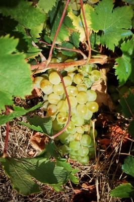 Grappolo di uva Zibibbo