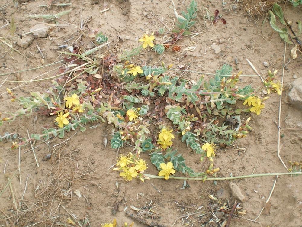 Esemplare di Hypericum Scruglii, pianta endemica della Sardegna centro-orientale