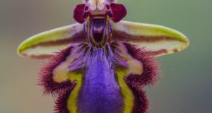 Salento: la rara orchidea Ophrys speculum riappare dopo 131 anni