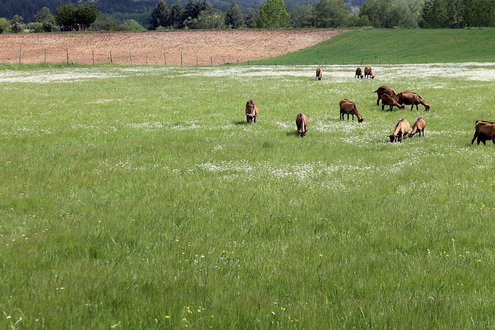 Capre al pascolo in c.da Campo San Lorenzo, Parco Nazionale della Sila - Ph. © Gianni Termine