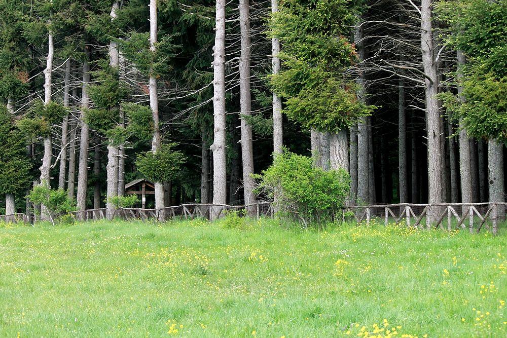 Scorcio del bosco di pini laricii che costeggia il Lago Cecita, in c.da Cupone, Parco Nazionale della Sila - Ph. © Gianni Termine