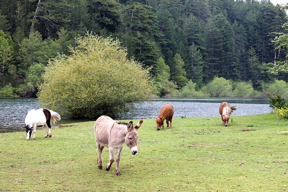 Tre pony e un asinello a spasso sulle sponde del Lago Cecita, in c.da Cupone, Parco Nazionale della Sila - Ph. © Gianni Termine