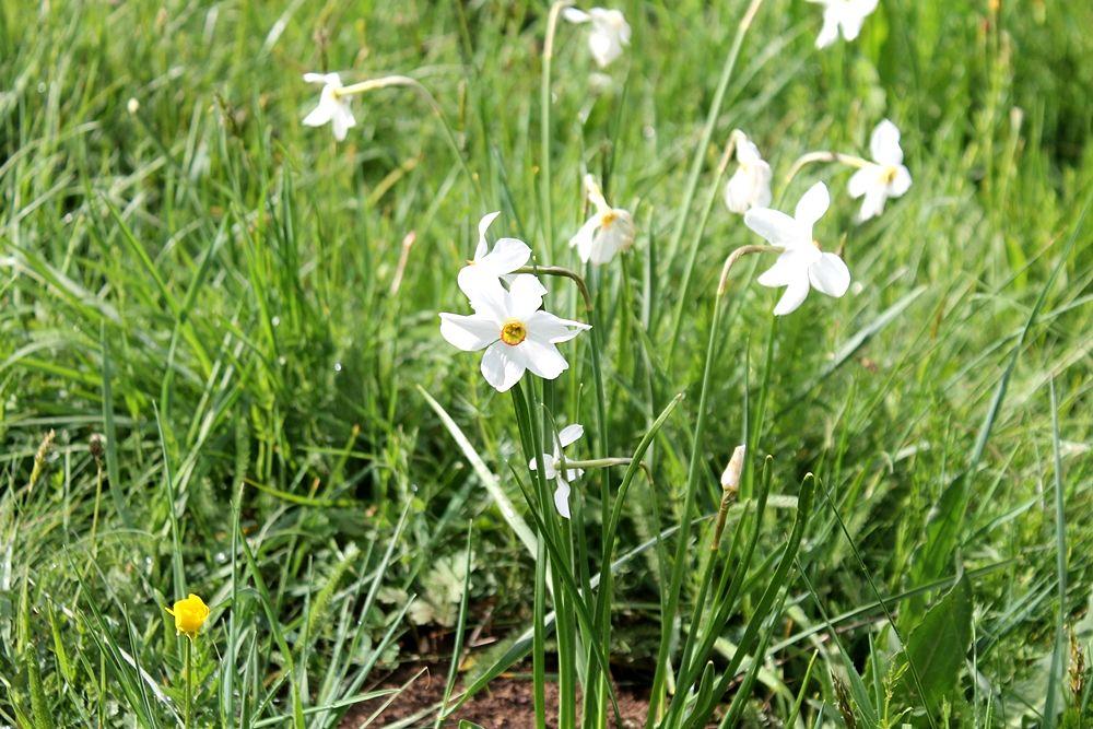 Fioritura di Narcisi dei Poeti (Narcissus poeticus) sulle sponde del Lago Cecita, Parco Nazionale della Sila - Ph. © Gianni Termine