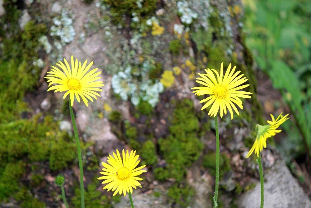 Fiori di tarassaco (Taraxacum officinale), Tenuta Barracco, Parco Nazionale della Sila – Ph. © Gianni Termine