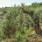Ulivi d'alta quota e olio di pregio nel Parco Nazionale della Sila. Al via la sperimentazione