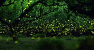 L'incanto delle lucciole nella Foresta di Cuma. Due giorni per ammirarle