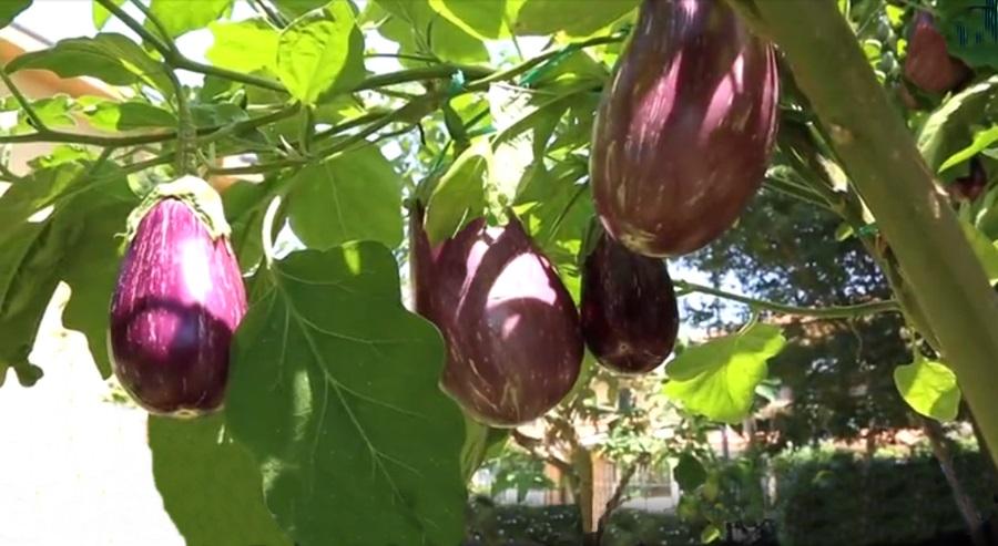 Melanzane variegate innestate da Francesco Mangano su arbusto di Solanum
