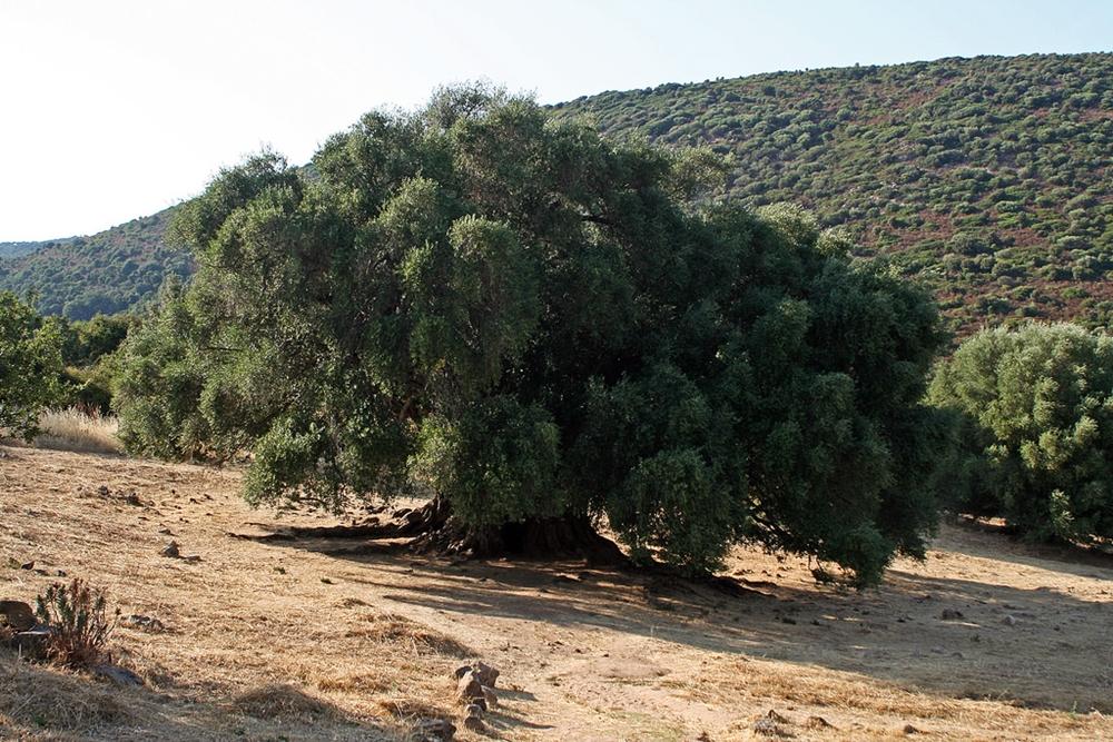 Il grande patriarca: l'olivastro di Luras (Sardegna), età stimata 4000 anni - Ph. Roby Ferrari | ccby-sa2.0