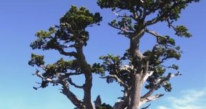 Italus: ha 1230 anni, si trova nel Parco del Pollino, ed è l'albero più antico d'Europa scientificamente datato