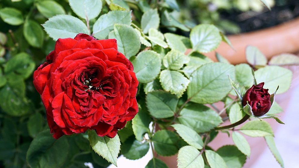 Esemplare di rosa rossa a fiore doppio