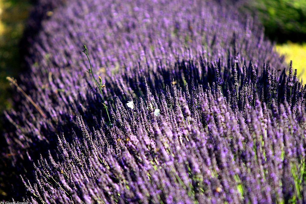 Cespugli di Lavanda del Pollino, Parco della Lavanda, Campotenese (Morano Calabro, CS) - Ph. © Gianni Termine