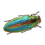 Buprestis splendens: nel Parco Nazionale del Pollino l'insetto-gioiello più raro d'Europa