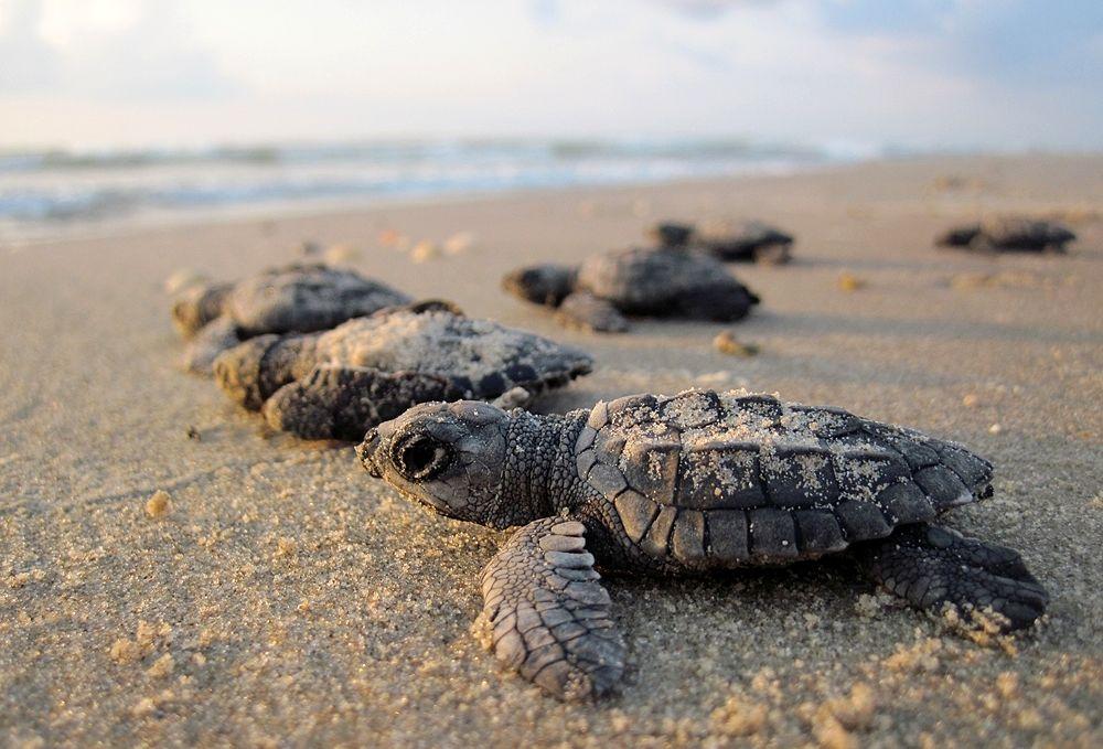 Esemplari di tartaruga marina comune (Caretta caretta) dopo la schiusa delle uova