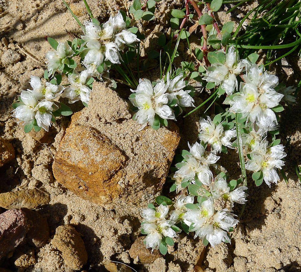 Fioritura di Paronychia argentea