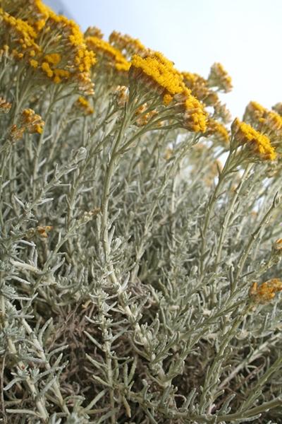 Infiorescenze di di Helichrysum microphyllum subsp. tyrrhenicum Bacch. Brullo & Giusso