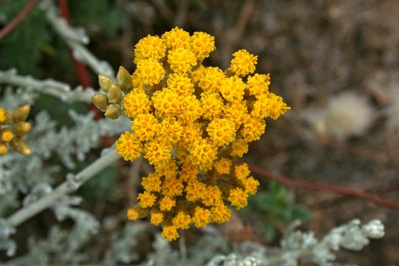 Infiorescenza di di Helichrysum microphyllum subsp. tyrrhenicum Bacch. Brullo & Giusso