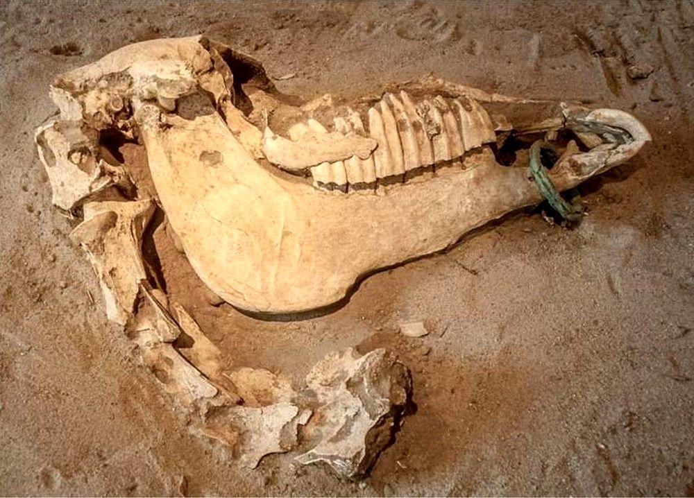 Cranio di un cavallo sepolto a Himera - Fonte: Soprintendenza Archeologica Palermo