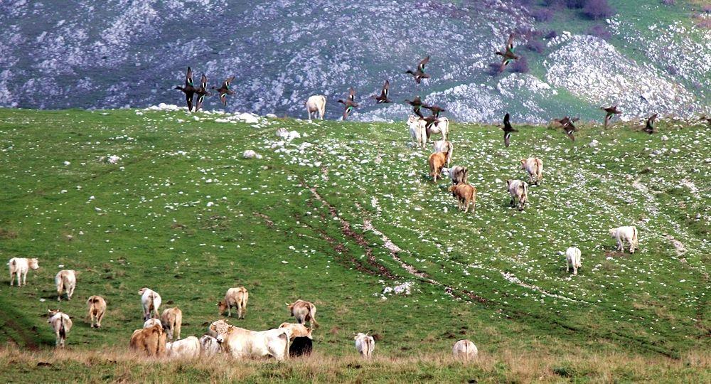 Armenti verso Piano Grande di Masistro, Parco Nazionale del Pollino - Ph. © Gianni Termine