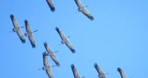 Sulle ali delle gru: l'affascinante passaggio nei cieli della Sila. Testo e immagini di Gianluca Congi