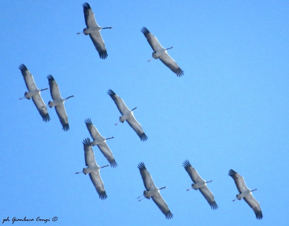 Gru in volo nei cieli della Sila - Ph. Gianluca Congi