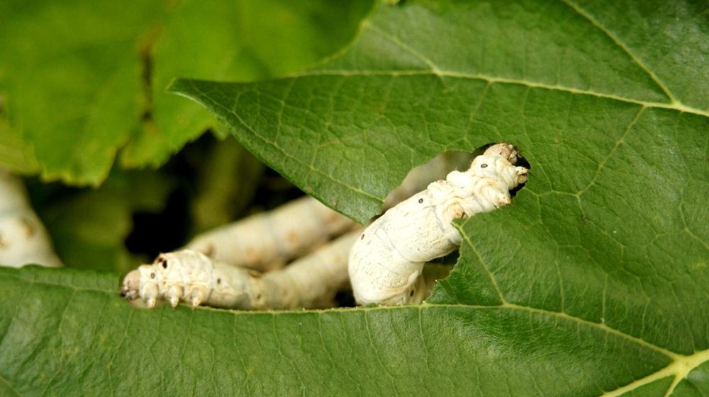 Bachi da seta tra le foglie di gelso