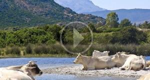 Le vacche «sacre» di Bèrchida nel video di Daniele Macis