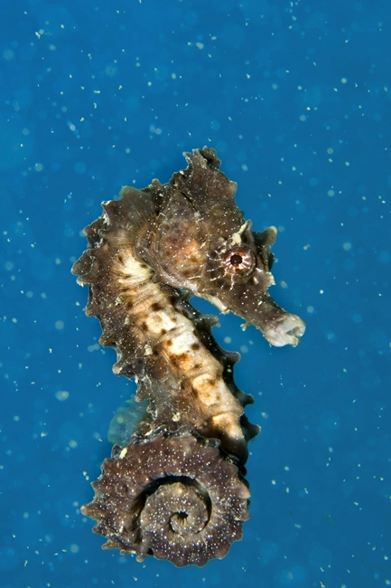 Esemplare du Hyppocampus hyppocampo - Ph. © Francesco Pacienza