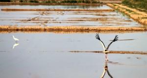 Cicogna in volo sulle risaie di Sibari nello scatto di Gianni Termine