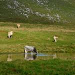 La Basilicata dedica due giorni alla transumanza e alla mucca di razza podolica