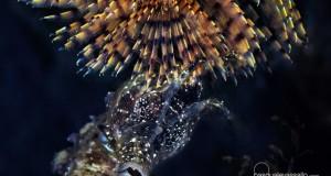 La bellezza 'aliena' del cavalluccio marino, fotografato nel Golfo di Napoli