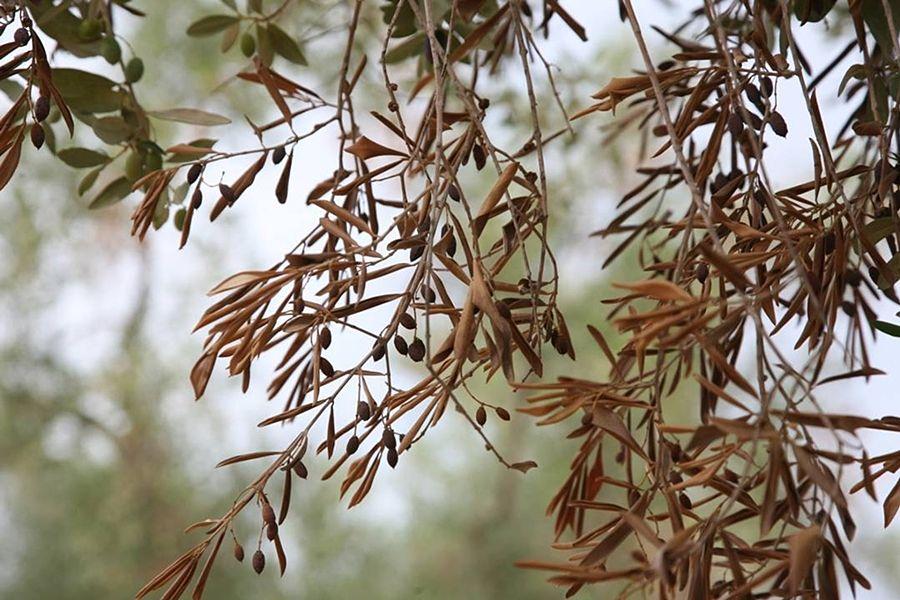 Puglia – Ulivo salentino affetto dalla sindrome del disseccamento attribuita all'azione della Xylella fastidiosa