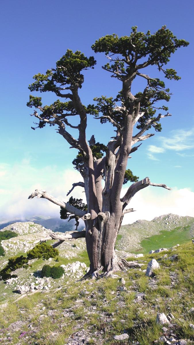 Esemplare di pino loricato (Pinus heldreichii leucodermis) del Pollino - Ph. Andrea Martini di Cigala