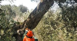 Xylella: affette solo 2 piante su 100. Lo rivela una relazione ministeriale inviata in Europa