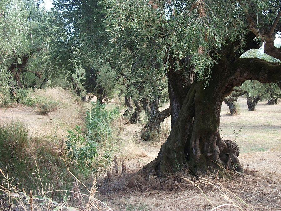 Puglia - Ulivo con qualche tracce di essiccazione sui rami